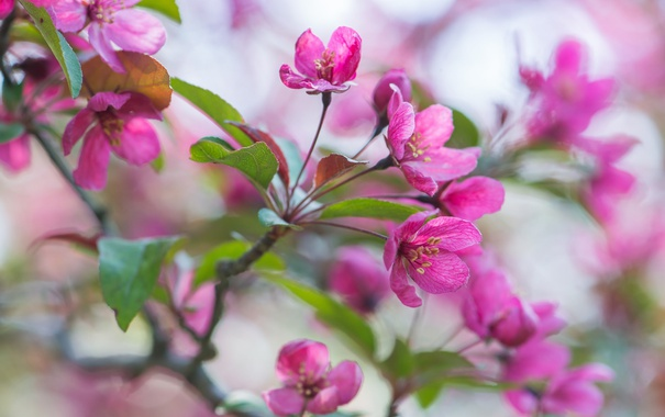 Фото обои розовый, ветка, весна, яблоня