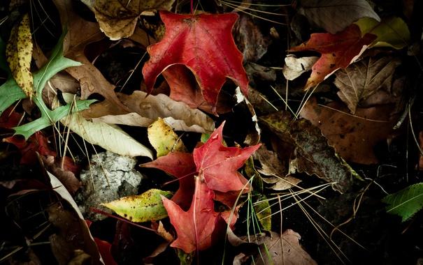Фото обои листья, капли, сухие, клен