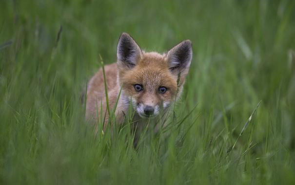 Фото обои трава, взгляд, лиса, лисёнок