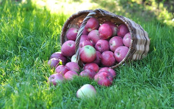 Фото обои трава, корзина, яблоки