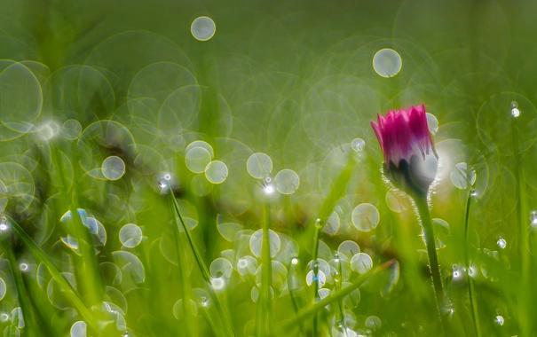 Фото обои трава, макро, роса, маргаритка