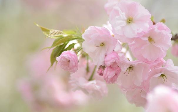 Фото обои вишня, розовый, нежность, сакура