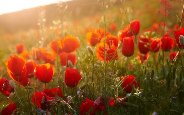 Фото обои цветы, природа, маки, flowers, poppies