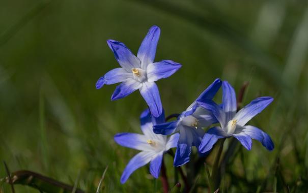 Фото обои макро, весна, Хионодокса Люцилии, Пролеска