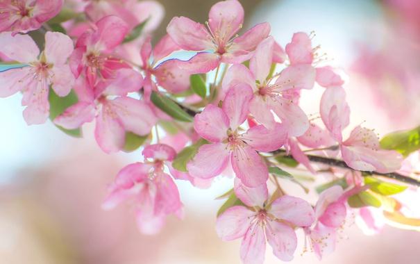 Фото обои розовый, ветка, весна