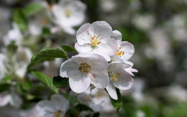Фото обои макро, весна, яблоня
