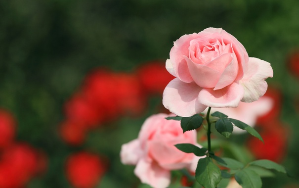 Фото обои розовый, роза, лепестки, бутон