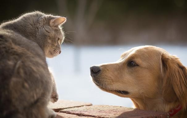 Фото обои кошка, собака, друзья
