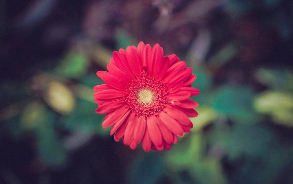 Фото обои цветок, лепестки, красные