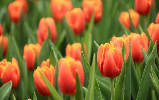 Фото обои макро, красный, тюльпан, бутон
