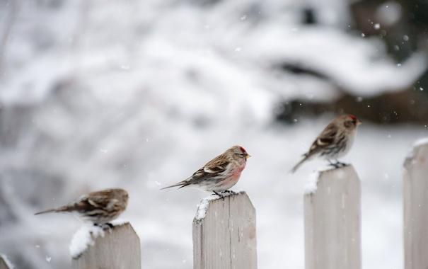 Фото обои зима, птицы, забор