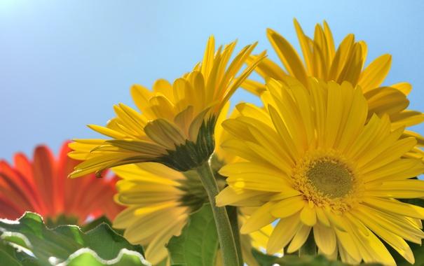 Фото обои макро, герберы, жёлтые
