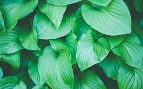 Обои листья, зеленые, много
