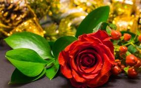 Обои бутон, лепестки, роза, листья