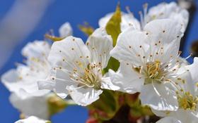 Обои макро, вишня, ветка, весна
