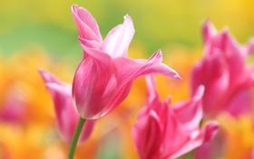 Обои макро, лепестки, тюльпаны, боке