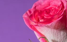 Обои роза, фон, макро, бутон