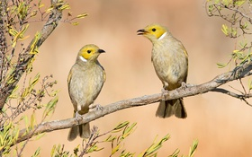 Обои птицы, ветка, пара