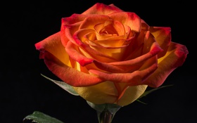Обои макро, роза, лепестки