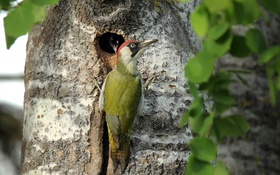 Картинка природа, дерево, птица, зеленый дятел