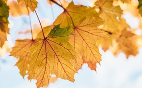 Обои осень, листья, желтые, клен