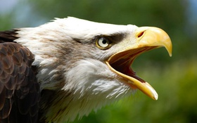 Обои feathers, eagle, beak, Haliaeetus leucocephalus