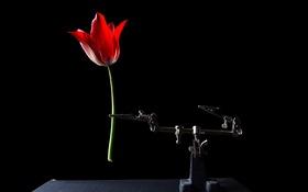 Обои цветок, фон, тюльпан