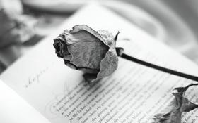 Обои книга, фон, роза