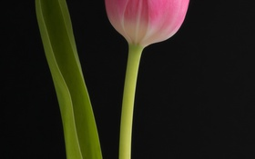 Обои цветок, макро, тюльпан