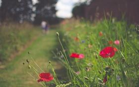 Обои цветы, маки, красные лепестки