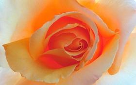 Обои цветок, макро, фон, роза, цвет, красота