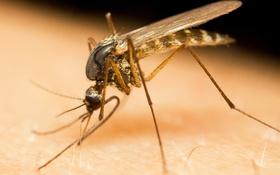 Обои insect, mosquito, virus, zika