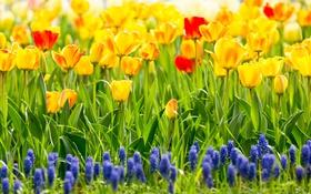 Картинка тюльпаны, мускари, гиацинты