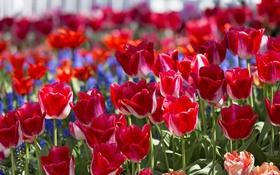 Обои бутоны, тюльпаны, весна
