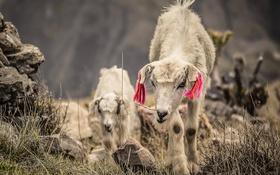 Картинка природа, фон, козы