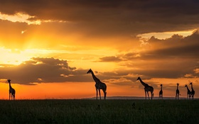 Картинка закат, жирафы, Kenya, Masai Mara
