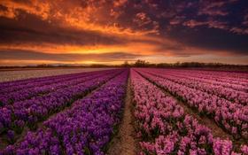 Обои цветы, закат, поле