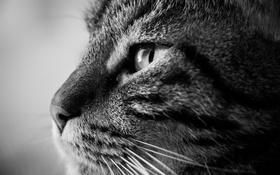 Обои кошка, черно-белое, шерсть, кот