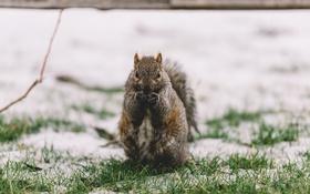 Обои снег, животное, белка