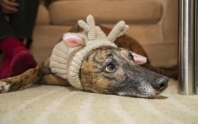 Обои собака, лежит, рожки, шапка
