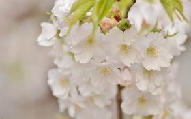 Обои макро, вишня, ветка, весна, сакура