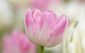 Картинка цветок, краски, тюльпан, весна, лепестки