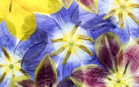 Обои макро, лепестки, тюльпаны, гербарий