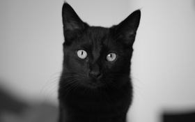 Обои кошка, глаза, кот, черный