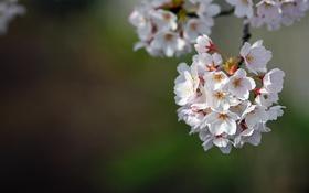 Обои вишня, ветка, весна, цветение