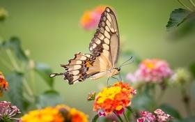 Обои бабочка, крылья, насекомое, махаон, лантана