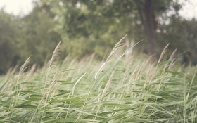 Обои трава, дерево, колоски, зеленые