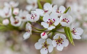 Картинка листья, цветы, природа, груша, белые лепестки