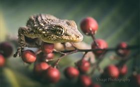 Обои геккон, ветка с ягодами, GJ-Vernon