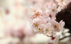 Обои макро, дерево, весна, сакура
